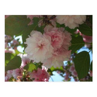 Doppelter blühender Frühling des Kirschbaum-I mit Postkarte