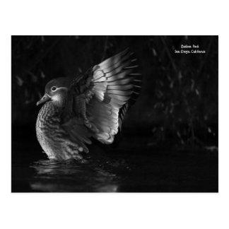 Drastisches Mandarinen-Enten-Schwarzweiss-Foto Postkarte