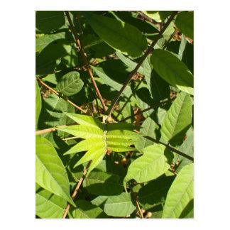 Draufsicht eines jungen Schösslingsbaum Ailanthus Postkarte