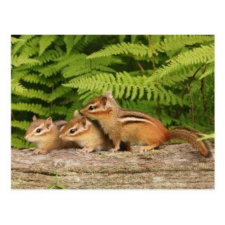 drei Baby Chipmunks Postkarte