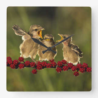 Drei BabyLanius Schach Vögel Quadratische Wanduhr