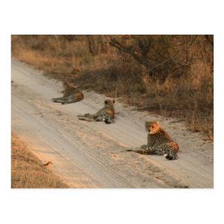 Drei Geparde auf Schotterweg am Sonnenaufgang - Postkarte
