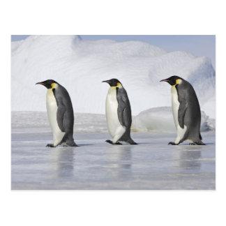 Drei Kaiser-Pinguine, Schnee-Hügel-Insel Postkarte