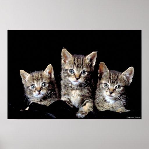 Drei Kätzchen von Junglewalk.com Plakat