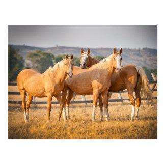 Drei Palomino-Ponys Postkarten