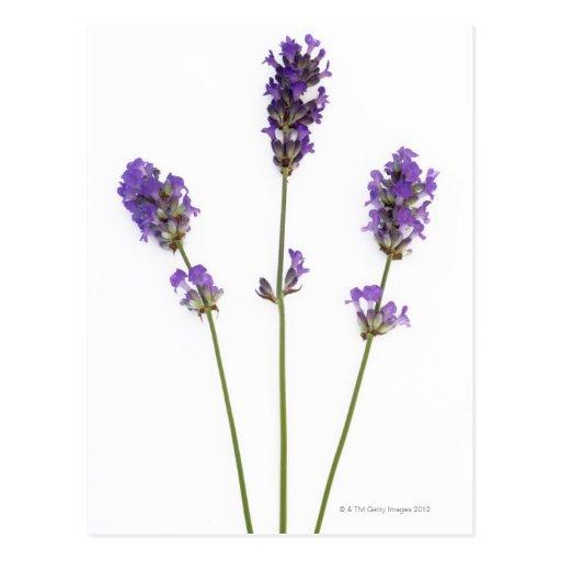 Drei Stämme der englischen lila Lavendel-Blumen, Postkarte