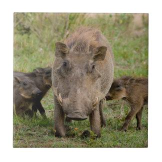 Drei Warthog Ferkel säugen auf ihrer Mutter Fliese