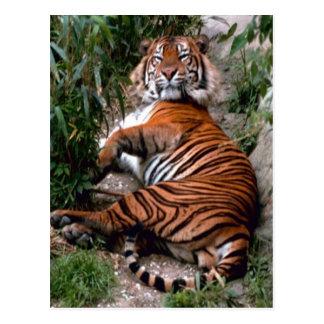 Drucke der Tiger-großen Katze Postkarte