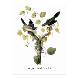 Dummkopf Shrike, John Audubon Postkarte