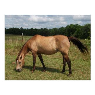 Dun Connemara Pony, Pferd, lassend in der Weide Postkarte