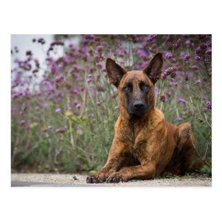Dutch shepherd- Flowers Postkarte