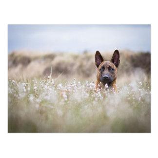Dutch shepherd in the moor postkarte