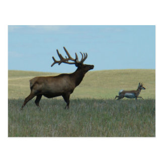 E0034 Stier Elch- und Pronghorn Antilopenpostkarte Postkarte