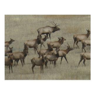 E0037 Stier Elkwith schüchtert Postkarte ein
