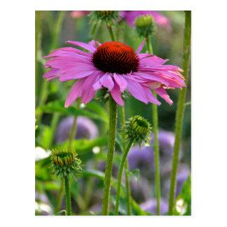 Echinacea Postkarte