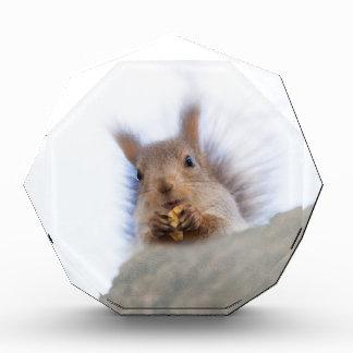 Eichhörnchen mit einer Walnuss Acryl Auszeichnung
