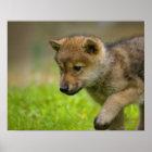 Ein Babywolf Poster