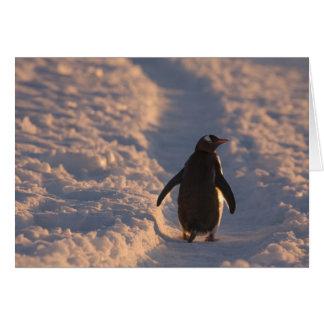 Ein gentoo Penguin pausiert für eine Erholung Karte