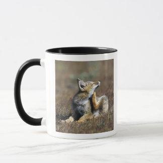 Ein junger Argentiniengrauer Fox, (Dusicyon Tasse