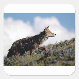 Ein Kojote geht in Yellowstone Nationalpark, Wyomi Quadratischer Aufkleber