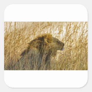 Ein Löwe wartet, Simbabwe Afrika Quadratischer Aufkleber