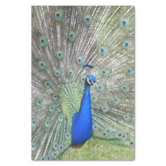 Ein männliche indische Pfau-Fans ist es Schwanz Seidenpapier