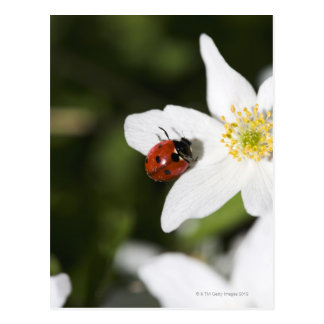 Ein Marienkäfer auf einer hölzernen Anemone Postkarte