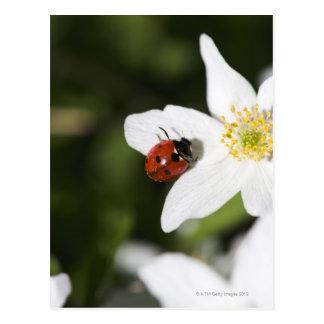 Ein Marienkäfer auf einer hölzernen Anemone Postkarten