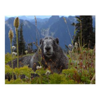 Ein Murmeltier im Paradies in der Mount- Postkarte