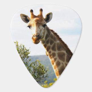 Ein nahes hohes Foto einer männlichen Giraffe auf Plektrum