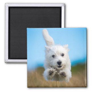 Ein niedlicher Westhochland-Terrier-Welpen-Betrieb Quadratischer Magnet