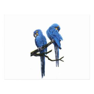 Ein Paar helle blaue HyazintheMacaws Postkarte