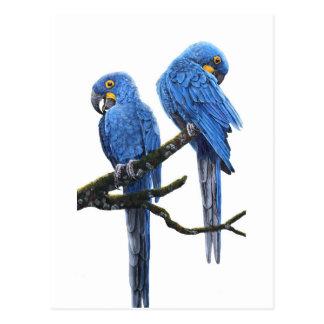 Ein Paar HyazintheMacaws Postkarte