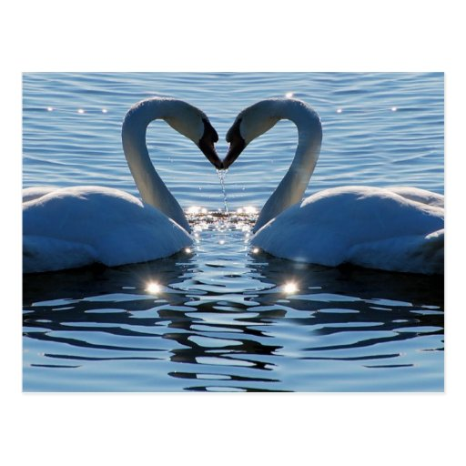 Ein Schwan-Herz-Kuss, Reflexionen der Liebe Postkarte