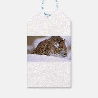 Ein seltene Amur-Leopard-Gleiche über einem Geschenkanhänger