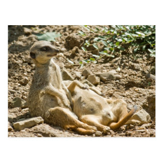Ein Sonnenbad nehmende Meerkats Postkarte