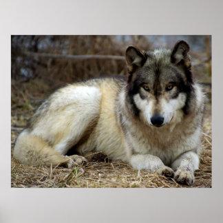 Ein Wolf wartete und Aufpassen Poster