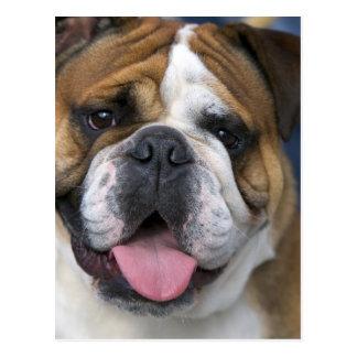 Eine englische Bulldogge in Belgien Postkarte