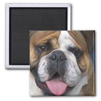 Eine englische Bulldogge in Belgien Quadratischer Magnet