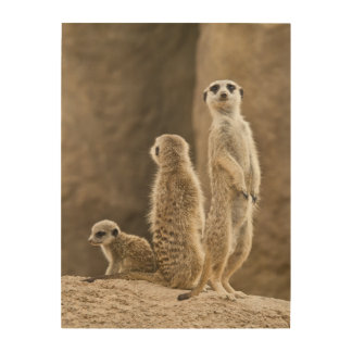 Eine Familie von Meerkats Holzdruck
