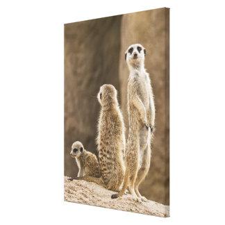 Eine Familie von Meerkats Leinwanddruck