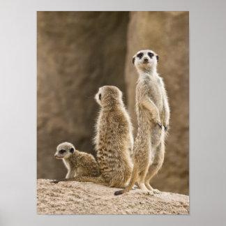 Eine Familie von Meerkats Poster