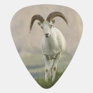 Eine Gruppe Dall Schafe rammt Erholung auf Plektron
