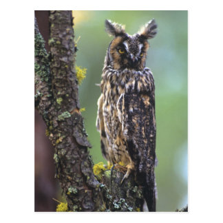 Eine lang-ohrige Eule hockte auf einem Baumast Postkarte