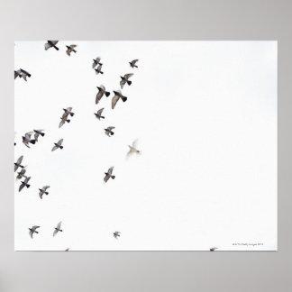 Eine Menge der Vögel fliegt am Himmel Poster
