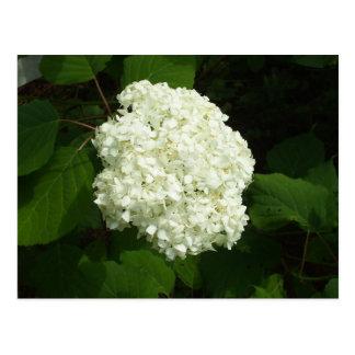 Eine Schneeball-Blüte Postkarte