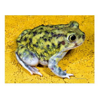 Eine spadefoot Kröte Postkarte