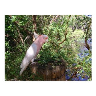 Eines rosa bedeutenden Mitchells Cockatoo auf Postkarte