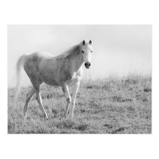 Einfarbiges weißes Pferd Postkarte