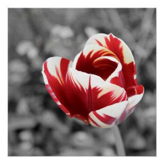 Einsame Tulpe, Rot und Vanille, einfarbiges Foto Poster